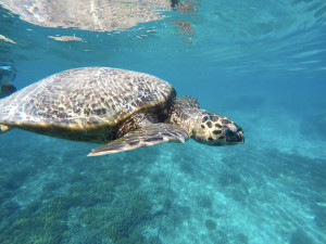 Swimming with sea turtles in Indonesia
